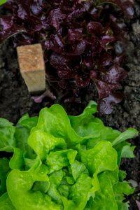 nutritious lettuce