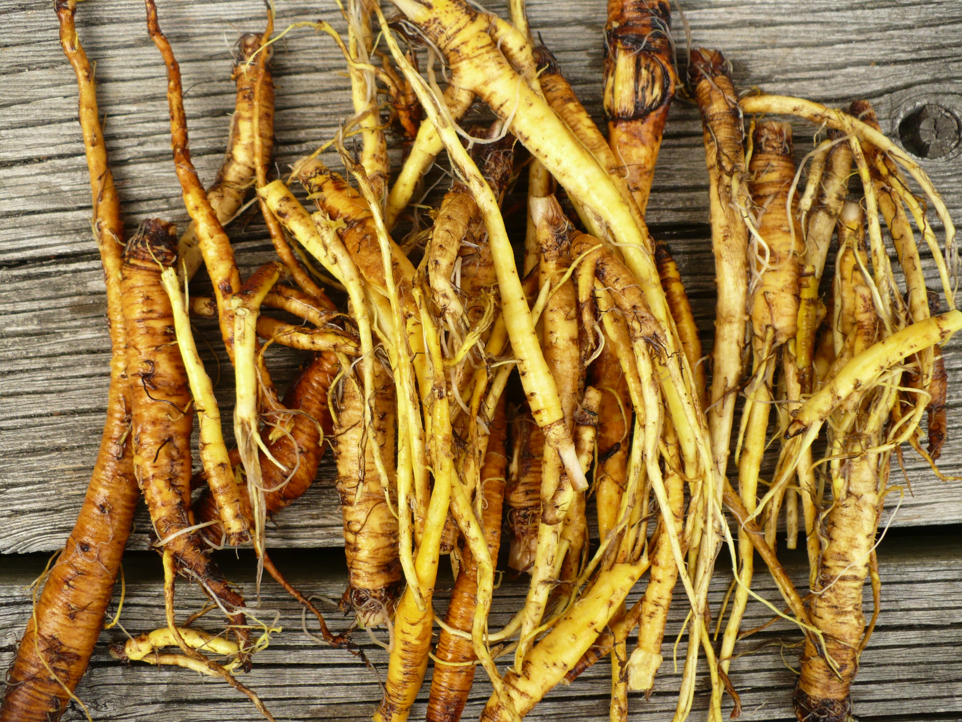 yellow dock root